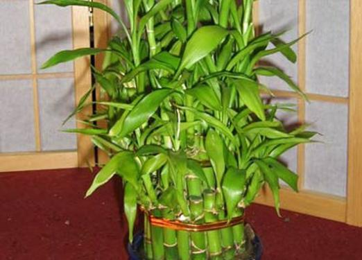 How to grow bamboo?